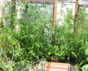 Tomatenpflanzen beginnen zu klettern