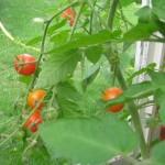 lecker Tomaten!