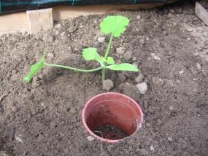 Zucchini eingepflanzt im Gewächshaus