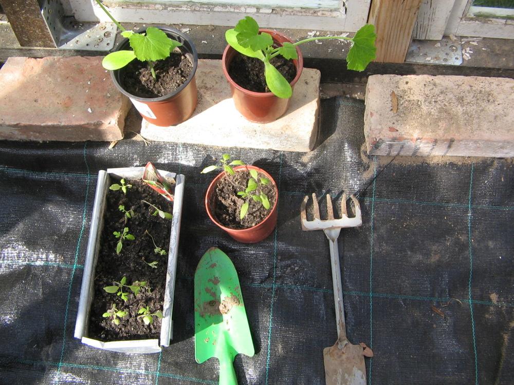 vorgezogene Zucchinis