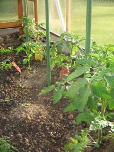 ...sowie noch mehr Tomaten auf der rechten Seite