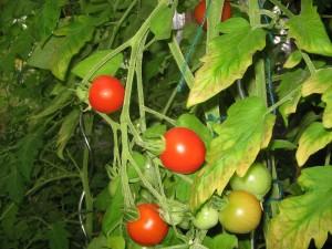 tomaten_im_gewaechshaus2