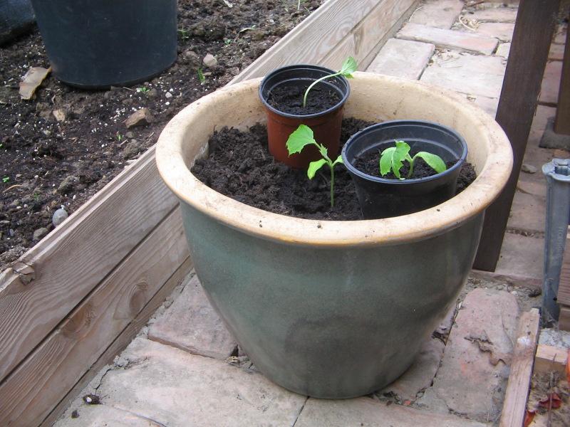 umpflanzen von zucchinis tomaten und gurken m ein. Black Bedroom Furniture Sets. Home Design Ideas