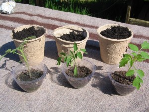 johannisbeertomaten_umpflanzen