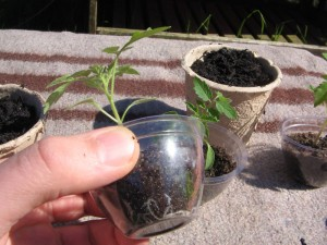 johannisbeertomaten_umpflanzen2