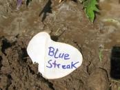 blue_streak_tomate